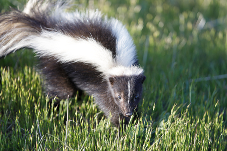 Striped Skunk (Mephitis mephitis) in alert. Santa Clara County, California, USA. Фото со стока