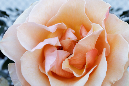 Apricot Hybrid Tea Rose  Details. Northern California, USA.