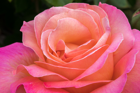 Pink and Peach Hybrid Tea Rose blooming in Northern California. Details of a Rose flower head.