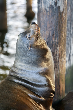 California Sea Lion Headshot. Santa Cruz Wharf, California, USA. Stock Photo