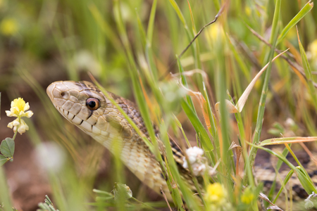 Pacific Gopher Snake (Pituophis catenifer catenifer) hiding in the grass. San Mateo County, California, USA. Stock Photo