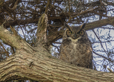 Coastal Great Horned Owl Adult Female Camouflaged. Golden Gate Park, San Francisco, California, USA.