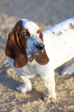 Basset Hound puppy female close-up. Off-leash dog park in California.