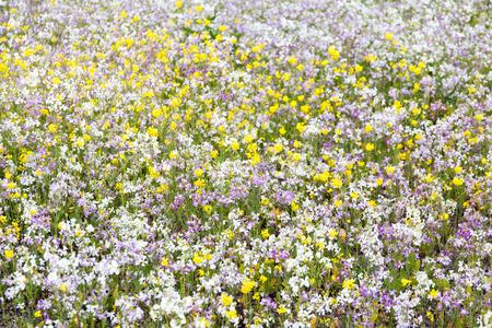 California Wildflowers in Bloom. Pescadero, San Mateo County, California, USA.