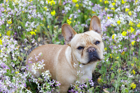 French Bulldog in Bloom in Northern California. Frenchie sitting in a meadow full of wildflowers in Pescadero, San Mateo County, California, USA. Stock Photo