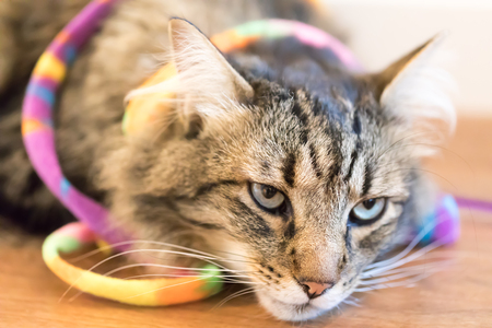 Long Haired Coon. House cat with a toy resting on the floor. Stock Photo