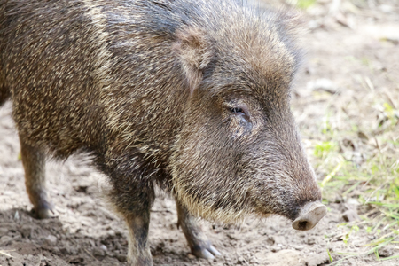 Chacoan peccary in captivity. The Chacoan peccary or tagua (Catagonus wagneri) is a peccary found in the Gran Chaco of Paraguay, Bolivia, and Argentina.
