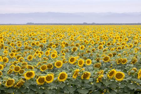 Sunflower Field in Bloom. Dixon, Solano County, California, USA.