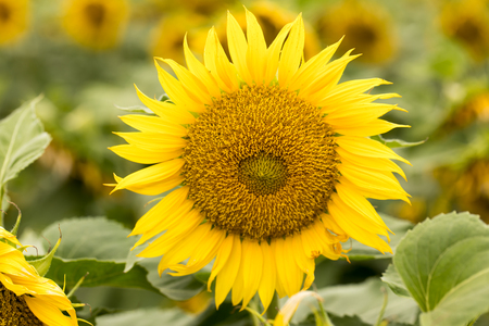 Sunflower Head in Bloom. Dixon, Solano County, California, USA.