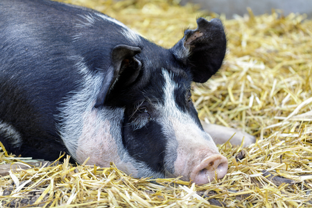 Adult Berkshire Pig resting in a barn. Farm in Northern California, USA. 写真素材