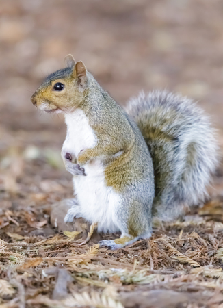 Eastern Grey Squirrel showing its white underside. Santa Clara County, California, USA.