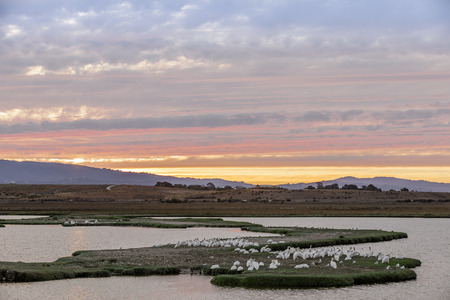Flock of Great White Pelicans perched in the Marshlands of Baylands Nature Preserve with Sunset Skies. Palo Alto, Santa Clara County, California, USA.