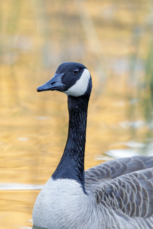 Canada Goose (Branta Canadensis) wading in pond with sunlight reflections. Japanese Friendship Garden, San Jose, Santa Clara County, California, USA. Stock Photo