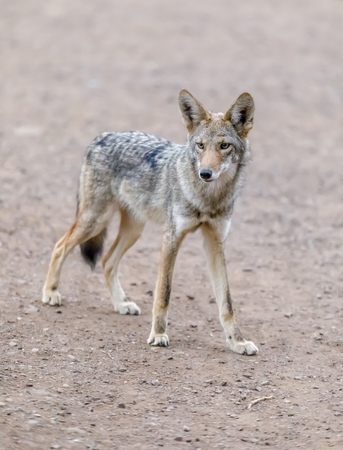Suspicious Adult Coyote Portrait. Marin Headlands, Marin County, California, USA. Stock Photo