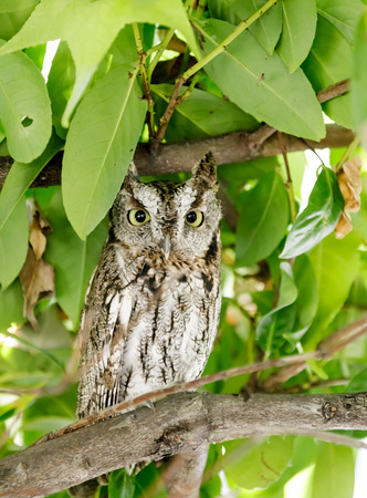Coastal Great Horned Owl, juvenile, in the wild. Menlo Park, San Mateo County, California, USA. Stock Photo