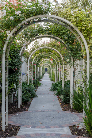 Garden Tunnel of Roses. Roses hanging over arched pergolas in Northern California.