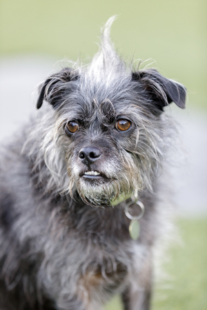 Terrier mix dog portrait. Off-leash park in Northern California. Stock Photo
