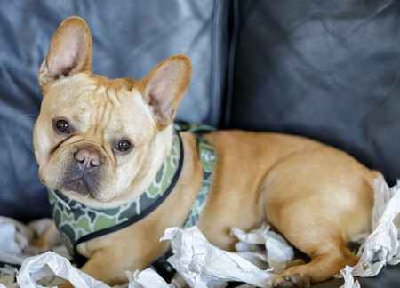 Frenchie resting from paper shredding enjoyment.  Many dogs like to tear things up. Shredding paper is great fun for dogs, and they do not see the harm in it, especially as it provides an outlet for their energy. Stock Photo