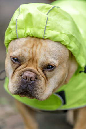 Frenchie in reflective raincoat, on a rainy day. Young male French Bulldog prepared for winter in Northern California.