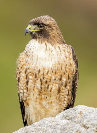 Red-tailed Hawk, Adult. Point Reyes National Seashore, Marin County, California, USA. Stock Photo
