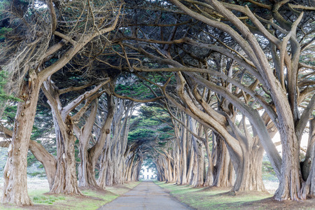 Signature Cypress Tree Tunnel in Inverness. Point Reyes National Seashore, Marin County, California, USA.