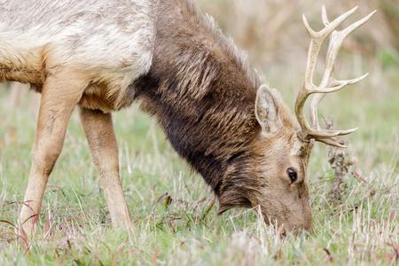 Tule Elk Bull Adult Grazing. Point Reyes National Seashore, Marin County, California, USA. Stock Photo