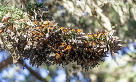 Cluster of Monarch Butterflies keeping warm during winter migration. Monarch Grove Sanctuary, Pacific Grove, Monterey County, California, USA. Stock Photo