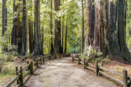 Old Coast Redwoods along the trail. Big Basin Redwoods State Park, Santa Cruz County, California, USA. Stock Photo