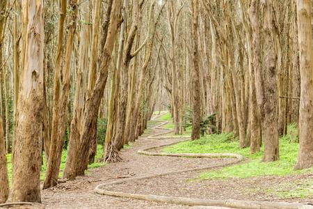 Eucalyptus Grove Wood Line on a winter day. The Presidio, San Francisco, California, USA.