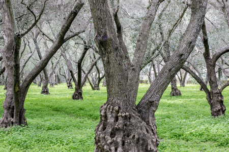 Olive Tree Grove. Carmelite Monastery of San Francisco, Santa Clara, California, USA.