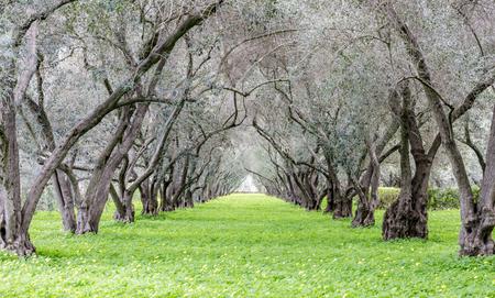 Olive Tree Tunnel. Carmelite Monastery of San Francisco, Santa Clara, California, USA.