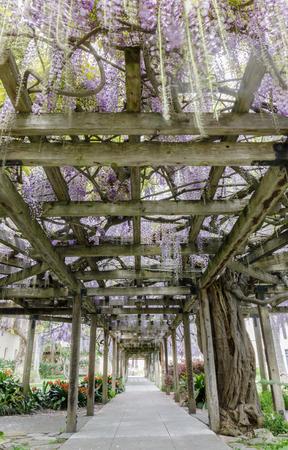 140 Years Old Wisteria Garden Tunnel Blooming. Mission Santa Clara, Santa Clara County, California, USA.