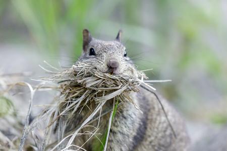Mouthful California Ground Squirrel (Otospermophilus beecheyi) collecting nest material. Santa Cruz, California, USA.