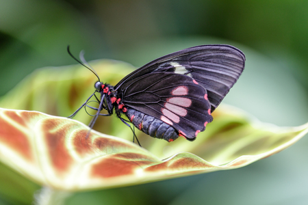 Cattleheart butterfly (Parides eurimeded mylotes) perched on a leaf. Rain Forest Exhibit in the Academy of Sciences in San Francisco.