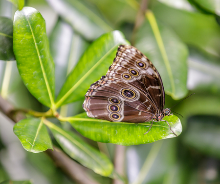 Blue Morpho butterfly (Morpho Menelaus) perched on a leaf. Rain Forest Exhibit in the Academy of Sciences in San Francisco. 写真素材