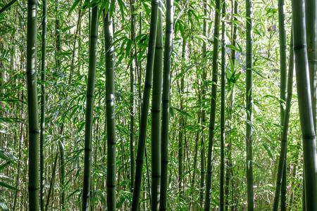 Bambusowe drzewa w japońskim ogrodzie herbacianym. San Francisco, Kalifornia, USA.