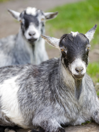 Pygmy goats cooling in the shade. Napa County, California, USA.