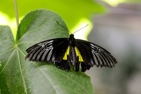 Golden birdwing (Troides rhadamantus) perched on a leaf. Rain Forest exhibit in the Academy of Sciences in San Francisco. 写真素材