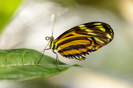 Tiger heliconian (Heliconius ismenius) perched on a leaf. Rain Forest Exhibit in the Academy of Sciences in San Francisco. 写真素材