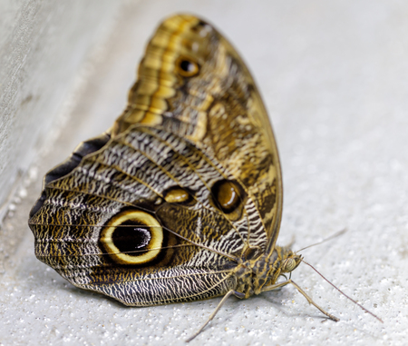 Owl butterfly (Caligo memnon) isolated. Rain Forest exhibit in the Academy of Sciences in San Francisco.