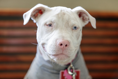 American Pit Bull Terrier female puppy head. Vets clinic in Northern California. 写真素材