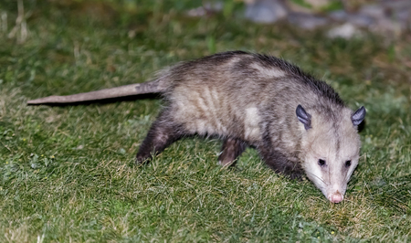 North American Opossum (Virginia Opossum) foraging in a residential property backyard. Santa Clara County, California, USA. Reklamní fotografie