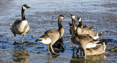 Canada Goose Parent Watches Over Young Ones. San Francisco Bay (Alameda County), California, USA. Reklamní fotografie
