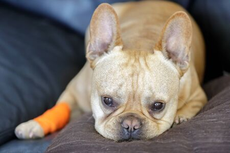 French Bulldog with a bandage healing from a paw injury. Frenchie wrapped with a bandage and a sad facial expression.