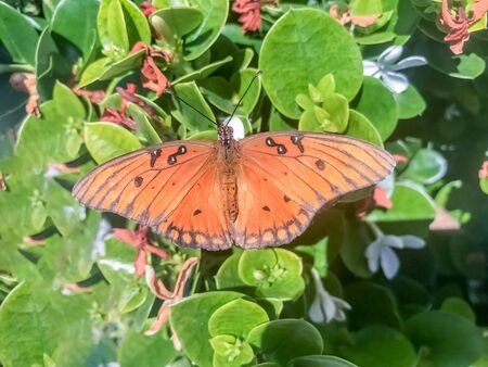 Gulf fritillary (aka passion butterfly) feeding on Star Jasmine. Santa Clara County, California, USA.