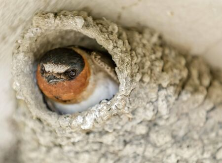 TWD91P Barn Swallow peeking out from its nest.