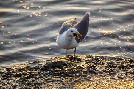 TWD92D Western Gull calling stay away from my food over a dead fish. Reklamní fotografie