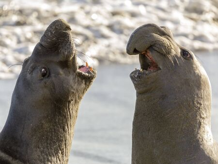 Northern Elephant Seal Adult Male Close-up. Point Piedras Blancas, San Simeon, California, USA. Reklamní fotografie