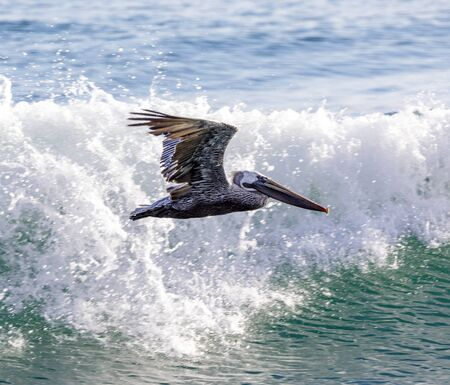 Brown Pelican Adult in Flight. San Luis Obispo County, California, USA.