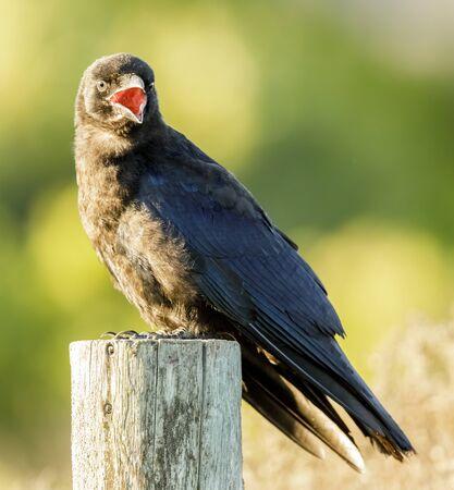 American Crow Calling. San Luis Obispo County, California, USA.